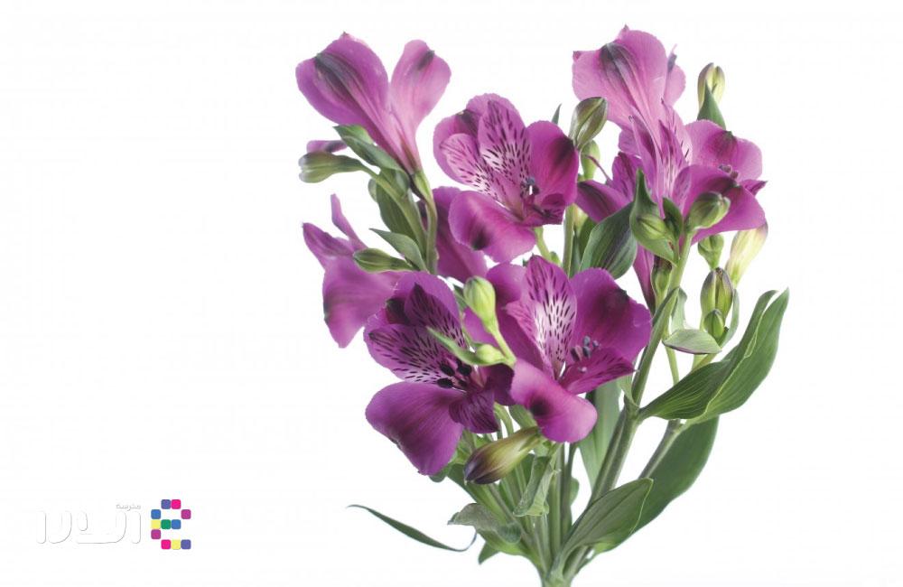 گل سوسن یا آلسترومریا