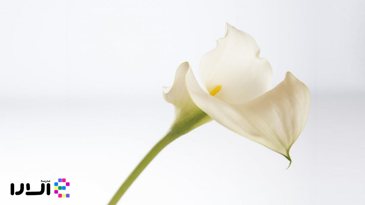 آشنایی با گل شیپوری