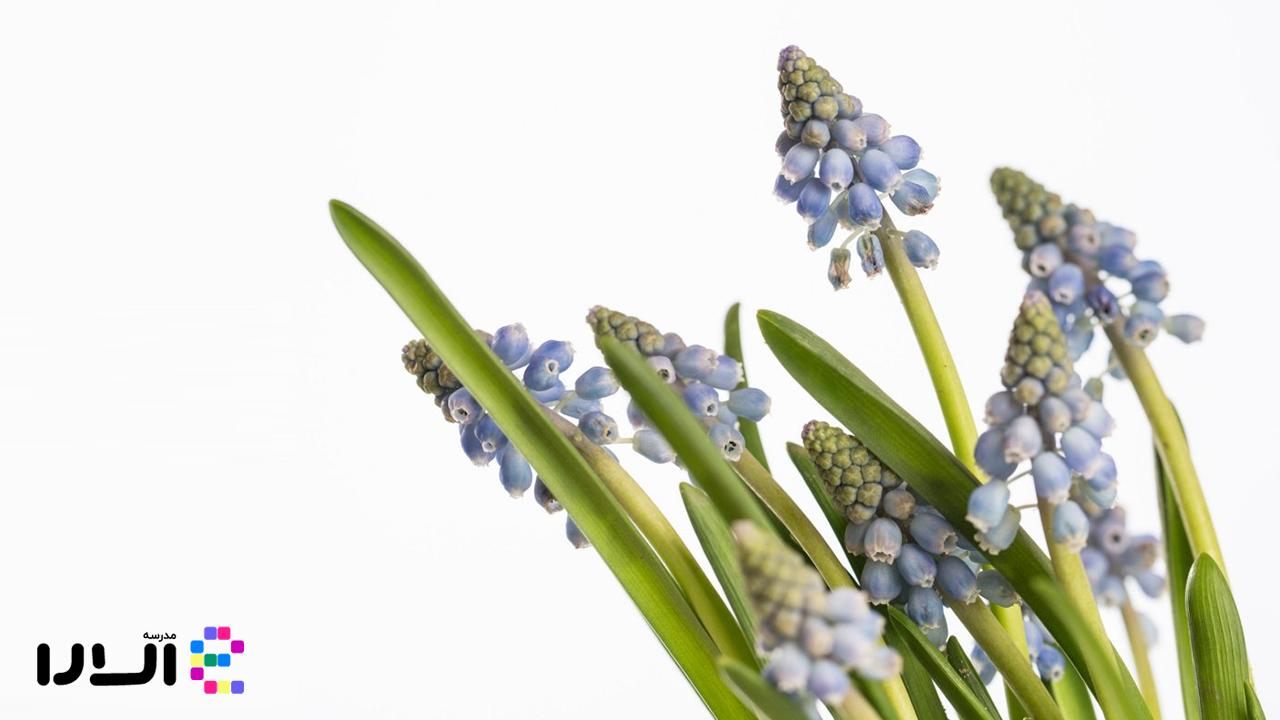 آشنایی با گل سنبلک